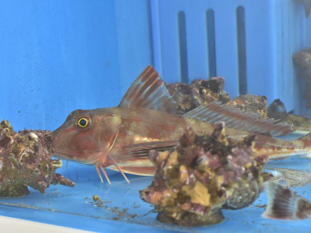 大磯コネクト活魚・鮮魚の販売コーナーのご案内の写真